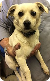 Chihuahua/Terrier (Unknown Type, Medium) Mix Puppy for adoption in Redding, California - Dash