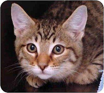 Domestic Mediumhair Cat for adoption in Los Alamitos, California - Boggie