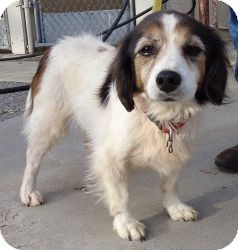 Cavalier King Charles Spaniel/Sheltie, Shetland Sheepdog Mix Dog for adoption in Windham, New Hampshire - Alexis