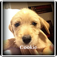 Adopt A Pet :: Cookie - Indian Trail, NC