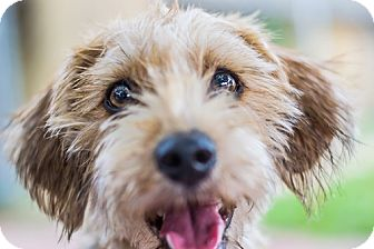 ... /Lakeland Terrier Mix Dog for adoption in Dallas, Texas - MACY Lakeland Terrier Rescue Texas