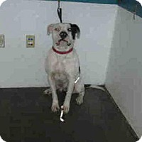 Adopt A Pet :: SNOOP A1565231 is in Danger at West Valley LA - Beverly Hills, CA