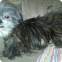 Adopt A Pet :: Bella(7 lb) Sweetie & Lap Baby - SUSSEX, NJ