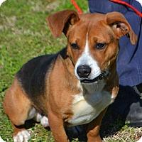 Adopt A Pet :: Nelson - Albany, NY