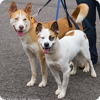 Adopt A Pet :: Bacall - Enfield, CT