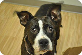 Boxer/Terrier (Unknown Type, Medium) Mix Dog for adoption in Hardeeville, South Carolina - Daphne