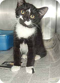 Domestic Shorthair Kitten for adoption in Newport, North Carolina - Star