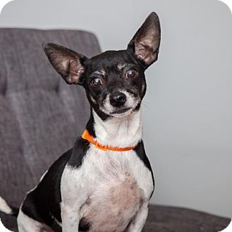 Chihuahua Mix Dog for adoption in Mission Hills, California - Alison