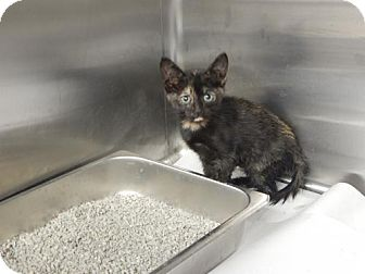 Domestic Shorthair Kitten for adoption in Pikeville, Kentucky - Buttercup