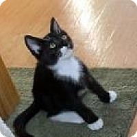 Domestic Shorthair Kitten for adoption in St. Louis, Missouri - Royal