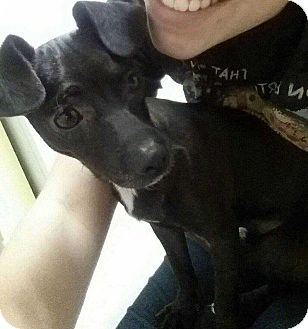 Chihuahua Mix Puppy for adoption in New York, New York - Blade! *Adoption Pending!*