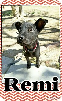 Labrador Retriever/Terrier (Unknown Type, Medium) Mix Puppy for adoption in Edwards AFB, California - Remi