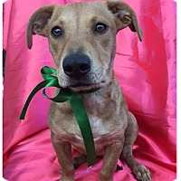 Corgi Mix Puppy for adoption in Santa Monica, California - ROSIE