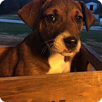 Adopt A Pet :: Celia - Russellville, KY