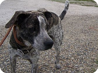 Catahoula Leopard Dog/Boxer Mix Dog for adoption in Chewelah, Washington - Plaid