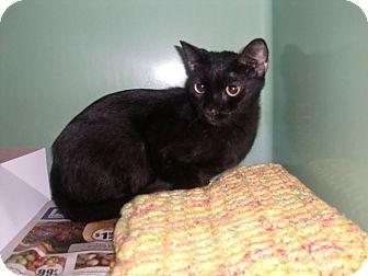 "American Shorthair Cat for adoption in Chesapeake, Virginia - Inky ""Me Me"""