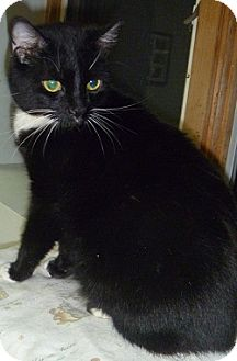 Domestic Shorthair Cat for adoption in Hamburg, New York - Molly Sue