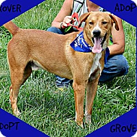 Labrador Retriever/German Shepherd Dog Mix Dog for adoption in Lawrenceburg, Tennessee - Grover