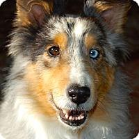 Adopt A Pet :: Indy - Pueblo West, CO