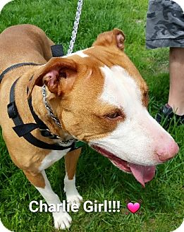 Bulldog Mix Dog for adoption in Birmingham, Michigan - CHARLIE- NEEDS FOSTER!!