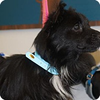 Adopt A Pet :: Little Man - Martinez, GA