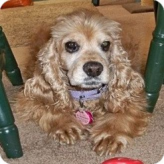 Cocker Spaniel Dog for adoption in Colorado Springs, Colorado - Janna 14-131