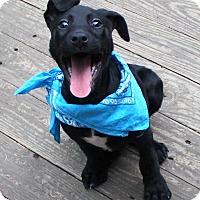 Adopt A Pet :: Ollie - Charlemont, MA