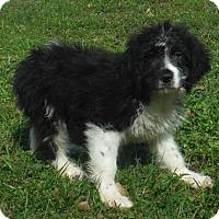 Adopt A Pet :: Barkley - Manchester, NH