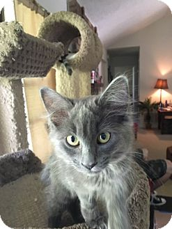 Russian Blue Kitten for adoption in Keller, Texas - Whitney
