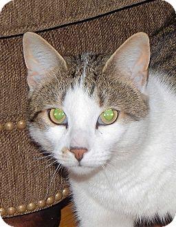 Domestic Shorthair Cat for adoption in N. Billerica, Massachusetts - Toby