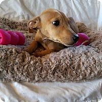 Adopt A Pet :: Gena (MD-Kelly) - Newark, DE