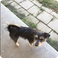 Terrier (Unknown Type, Small) Mix Dog for adoption in Elk Grove, California - GALLEY