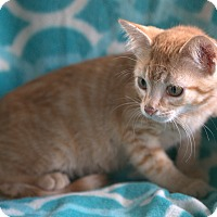Domestic Shorthair Kitten for adoption in Hagerstown, Maryland - Rusty