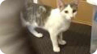 Domestic Shorthair Cat for adoption in Shelbyville, Kentucky - Bennie