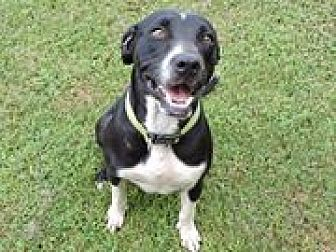 Pit Bull Terrier Mix Dog for adoption in Cottonport, Louisiana - Wendy