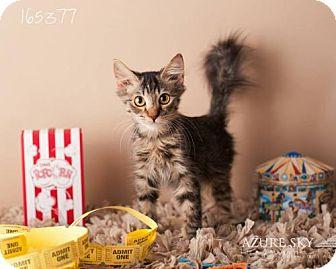 Domestic Shorthair Cat for adoption in Glendale, Arizona - Therman