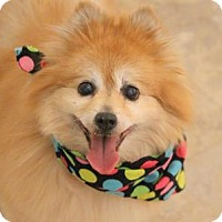 Pomeranian Mix Dog for adoption in Flagstaff, Arizona - Super-Dog Amber