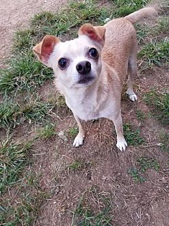 Chihuahua Mix Dog for adoption in Fairmont, West Virginia - Charlie