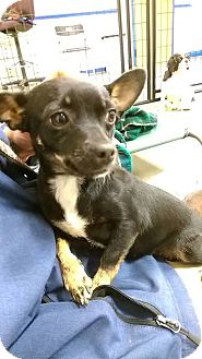 Chihuahua Dog for adoption in Nixa, Missouri - Gigi #1013