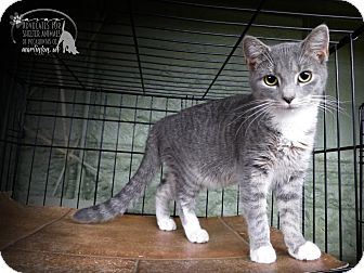 Domestic Shorthair Kitten for adoption in Marlinton, West Virginia - Lana