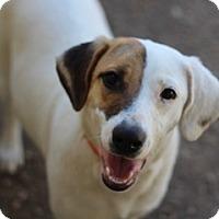 Coonhound/Labrador Retriever Mix Dog for adoption in Von Ormy, Texas - Lydia