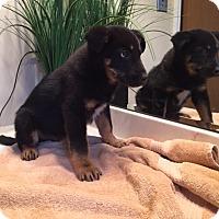Adopt A Pet :: Digger-pending - Manchester, NH