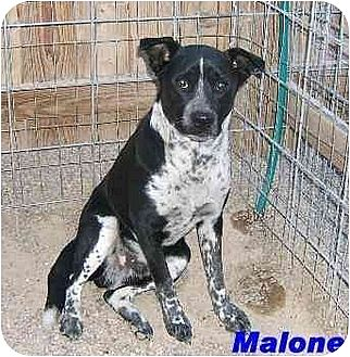 Australian Cattle Dog/Blue Heeler Mix Dog for adoption in Hawk Springs, Wyoming - MALONE