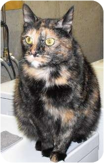 Domestic Shorthair Cat for adoption in Byron Center, Michigan - Honey