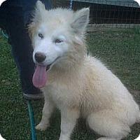 Adopt A Pet :: Brooke - Albany, NY