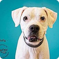 Adopt A Pet :: Shelly - Higley, AZ