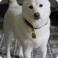 Adopt A Pet :: Pikachu - Manassas, VA