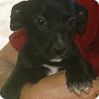 Adopt A Pet :: Cody - Plainfield, CT