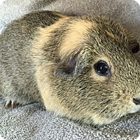 Adopt A Pet :: Amber - Steger, IL