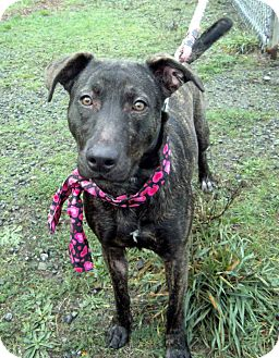 Shepherd (Unknown Type)/Belgian Malinois Mix Dog for adoption in Crescent City, California - Bindi